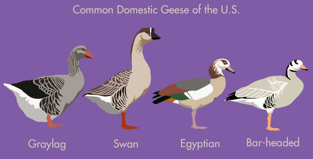 Domestic_Geese