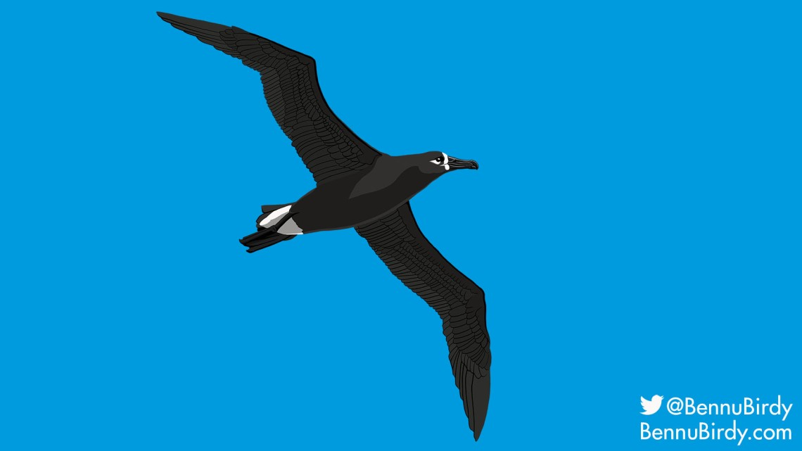 black_footed_albatross