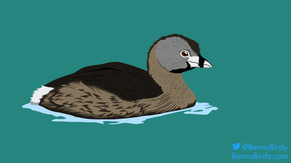 pied_billed_grebe