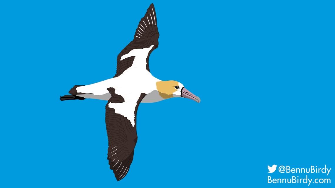 short_tailed_albatross