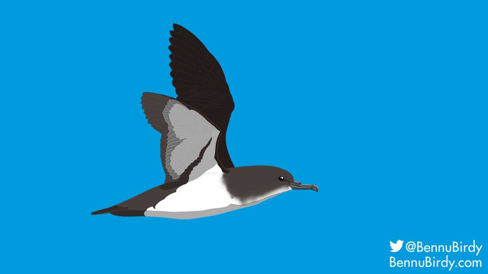 black_vented_shearwater