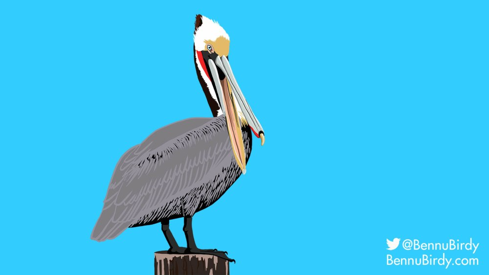 brown_pelican