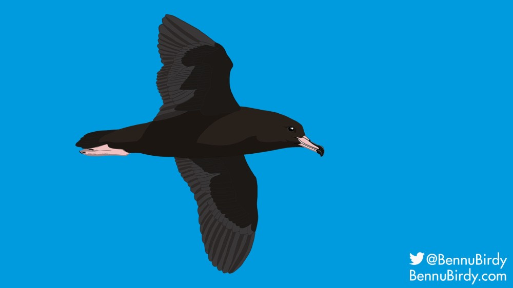 flesh_footed_shearwater