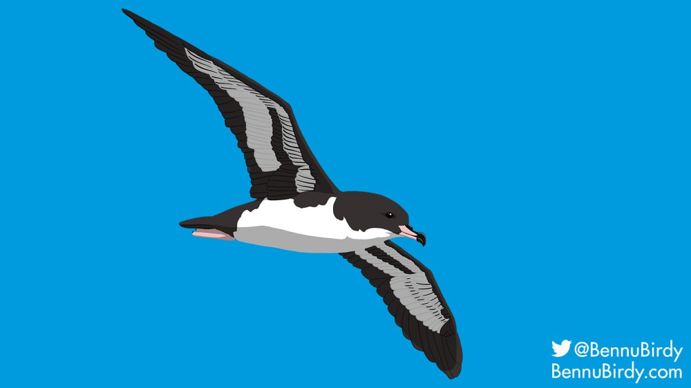 pink_footed_shearwater