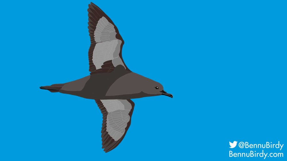 short_tailed_shearwater