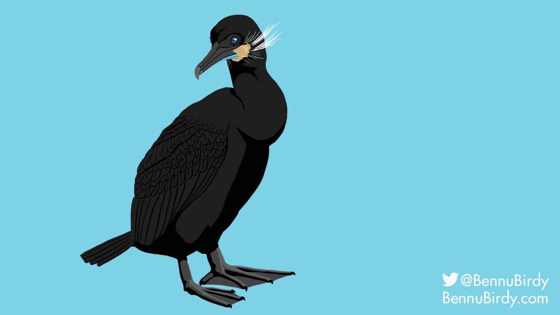 brandts_cormorant