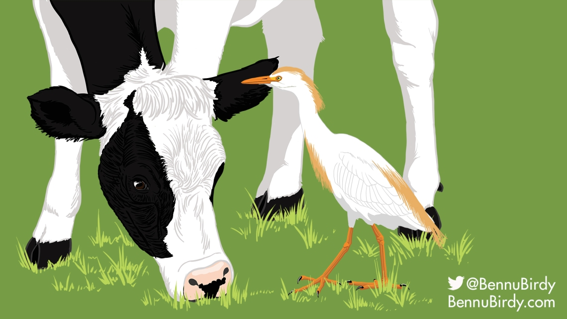 cattle_egret