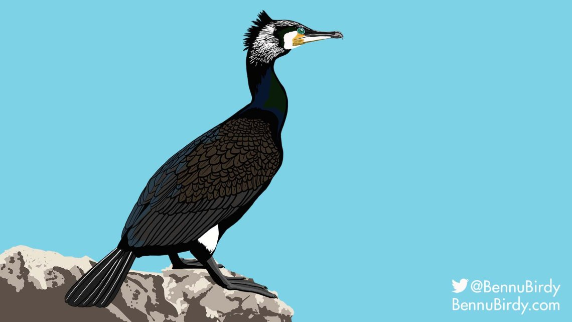 great_cormorant