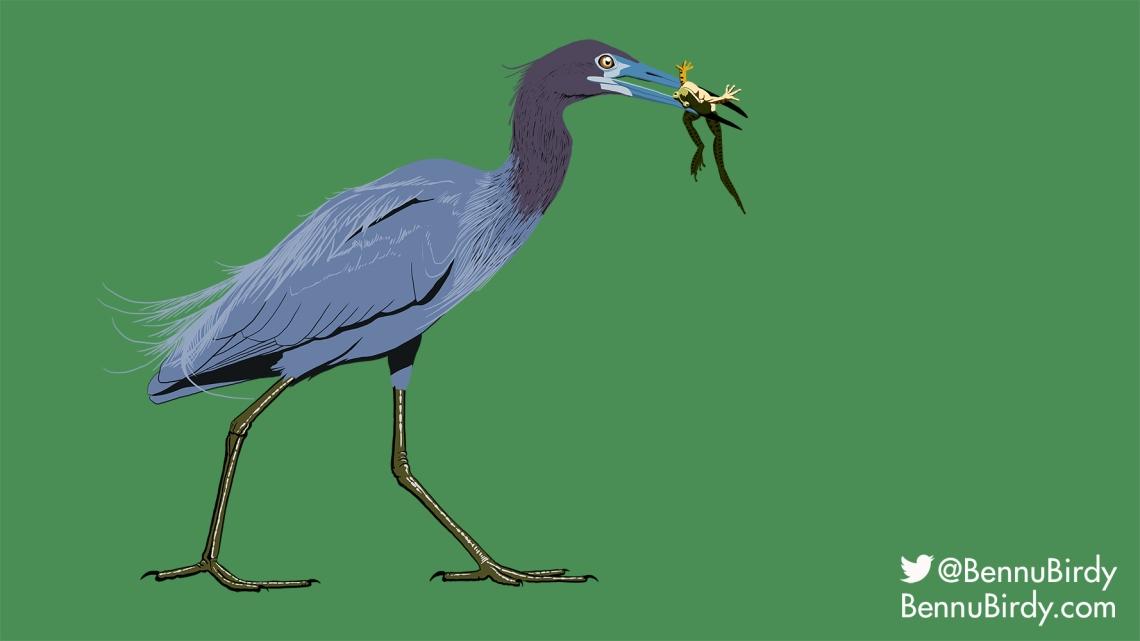 little_blue_heron.jpg