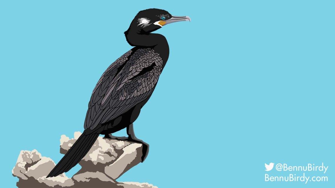 neotropic_cormorant