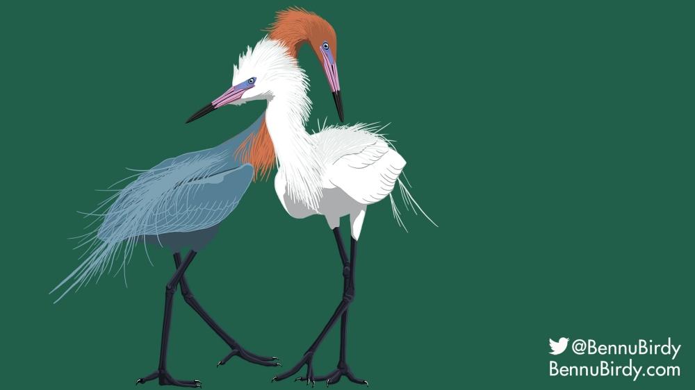 reddish_egret
