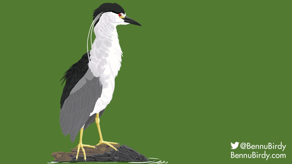 black_crowned_night_heron