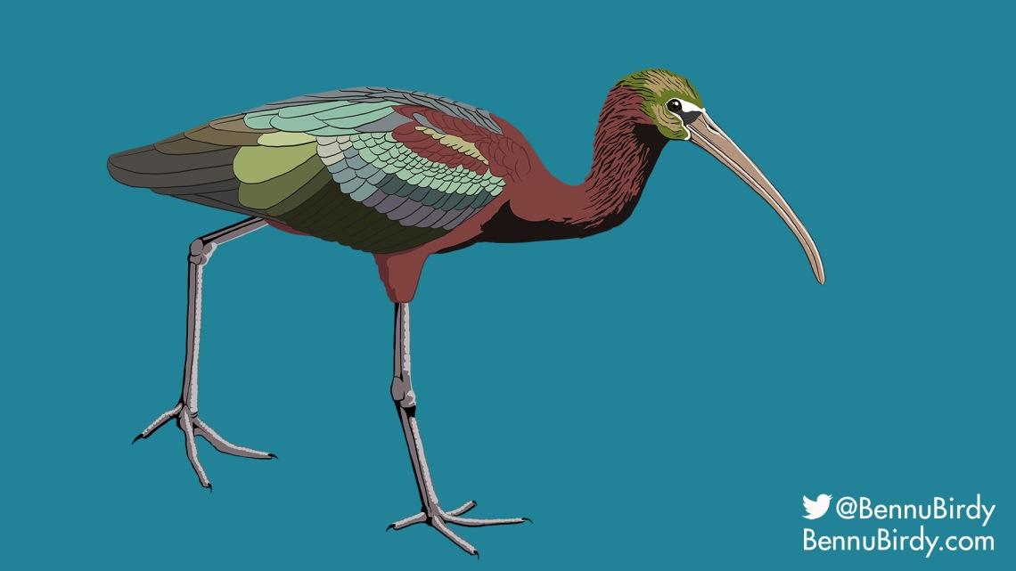 glossy_ibis