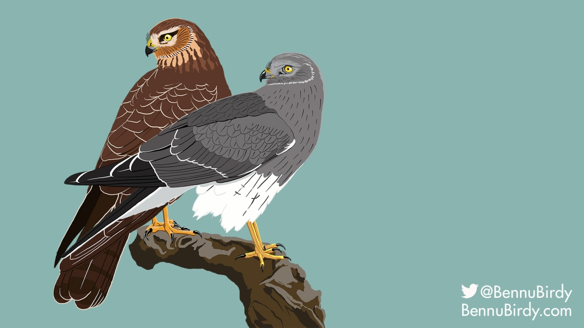 northern_harrier