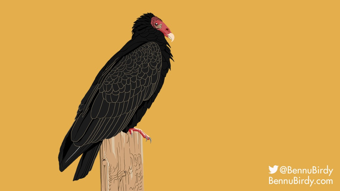 turkey_vulture