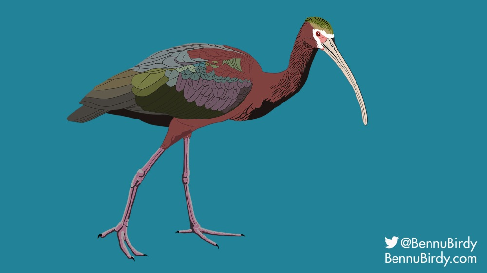 white_faced_ibis