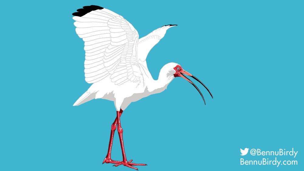 white_ibis