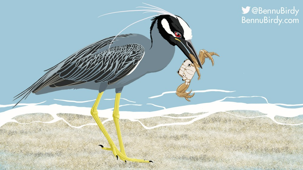 yellow_crowned_night_heron