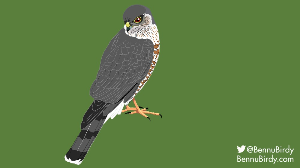 sharp_shinned_hawk