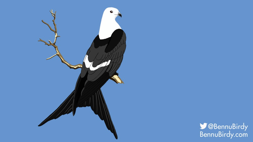 swallow_tailed_kite