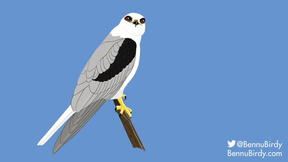 white_tailed_kite