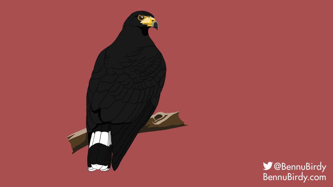 common_black_hawk