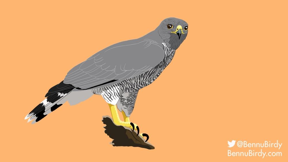 gray_hawk