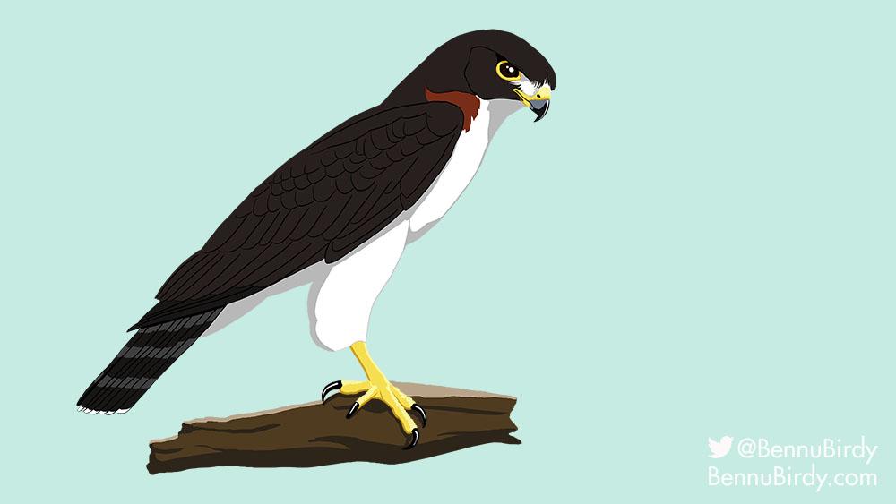 short_tailed_hawk
