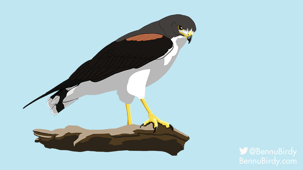 white_tailed_hawk
