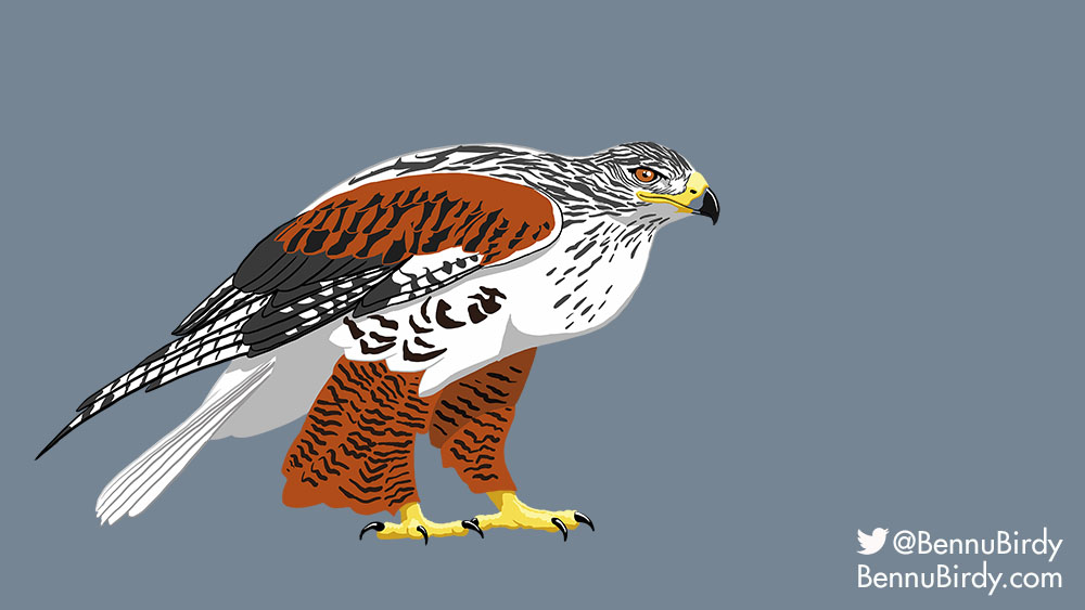 ferruginous_hawk