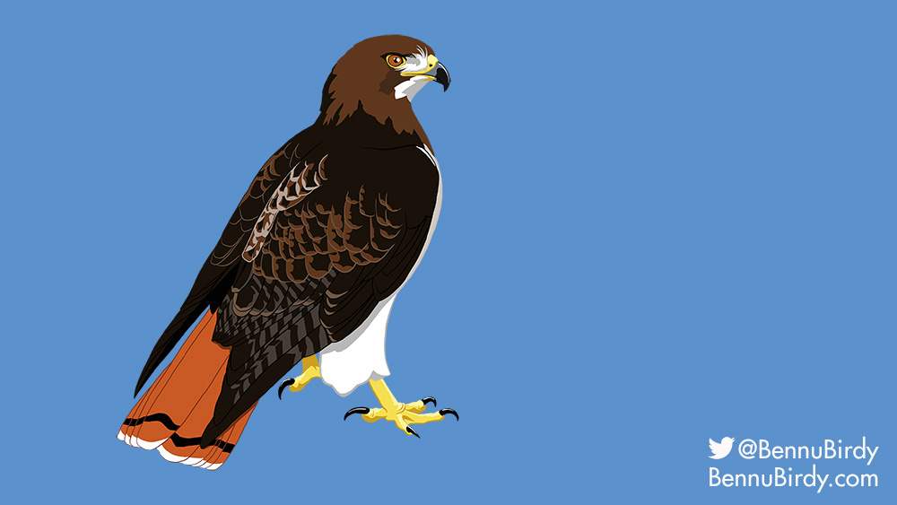 red_tailed_hawk