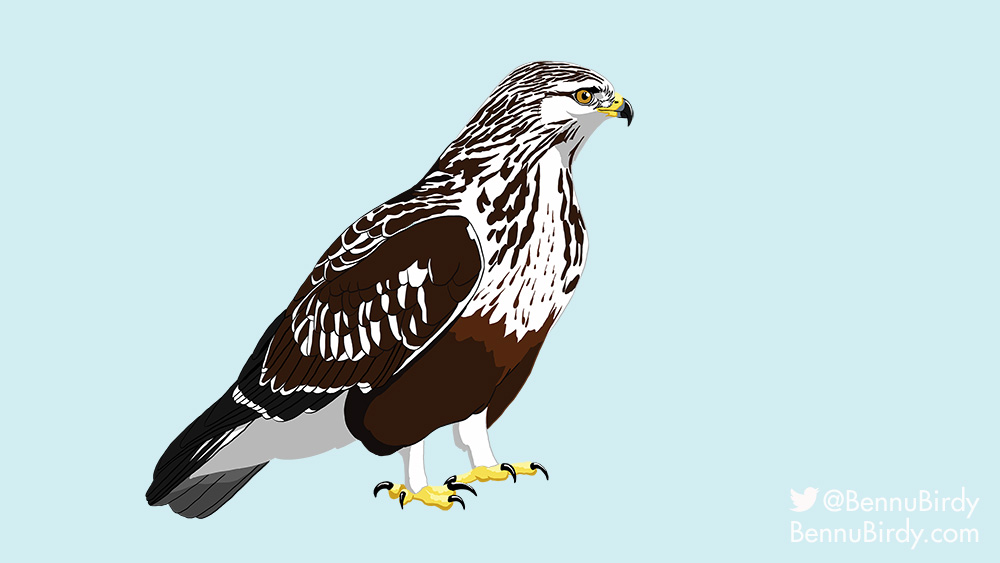 rough_legged_hawk