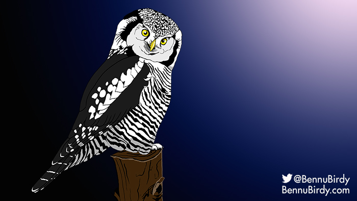 northern_hawk_owl