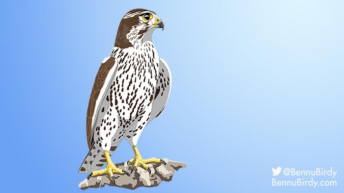 prairie_falcon