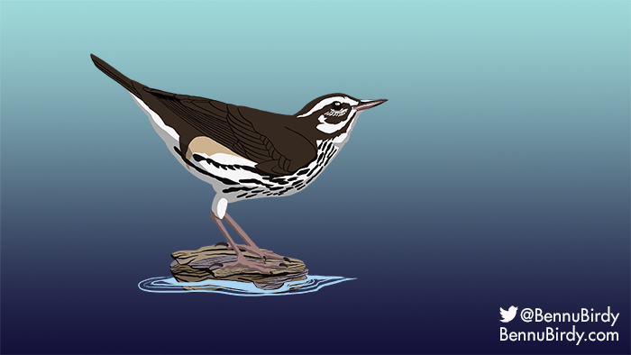 louisiana_waterthrush.jpg