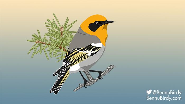 olive_warbler